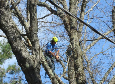 Large Shade Tree Pruning